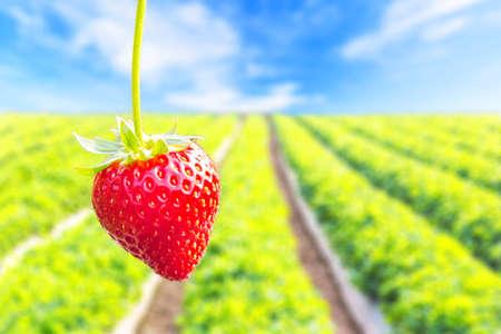 frutilla: Cierre de fresa disparo con la plantaci�n de fondo de fresa Foto de archivo