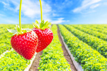 Close up shot strawberry with planting strawberry background Zdjęcie Seryjne