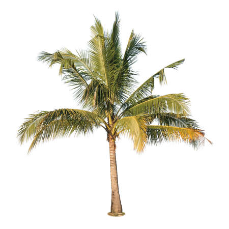 A photo of coconut tree on isolated white background Stock Photo