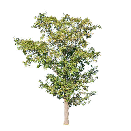 A photo of tree on isolated white background with clipping path