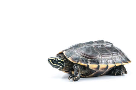 A photo of Turtle on isolate white background