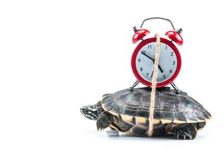 A photo of Turtle and red clock on white background in concept slowly time