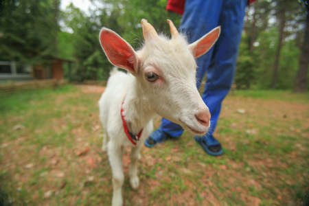 Ð¡ute domestic goat next to a man on the lawn in the village near the house