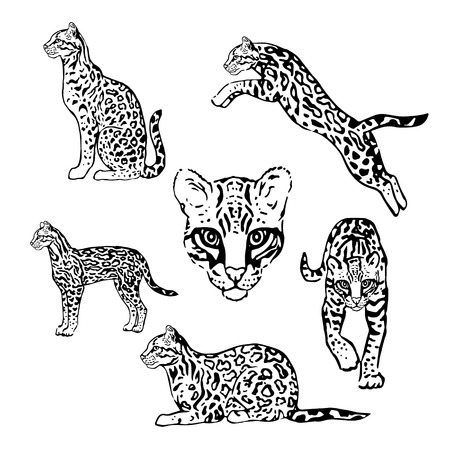 Set of vector graphic ocelot. Collection of animal icons.