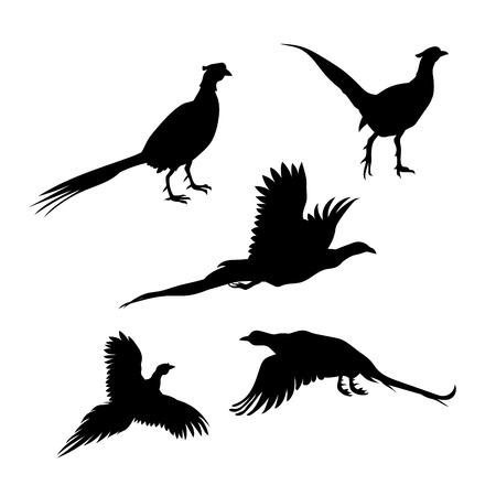 cazador: Pájaro faisán vector iconos y siluetas. Conjunto de ilustraciones en diferentes poses.