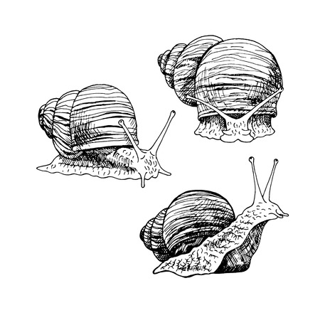mollusc: Hand drawn set of snails. Black and white vector sketch. Vintage image for snails farm. Doodle line illustration with animals. Illustration
