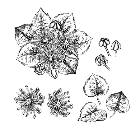 Hand drawn linden flowers and leaves. Pattern in vintage style. Black and white retro bouquet. Drawing line sketch. Can be used in package design. Vector illustration.