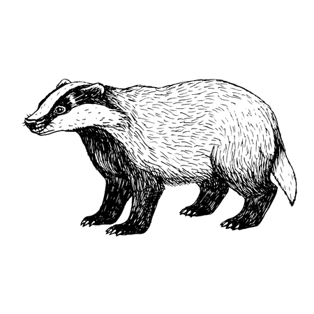 badger: Hand drawn badger. Retro sketch isolated. Vintage style. Doodle linear graphic design. Black and white drawing wild animal. Vector illustration.