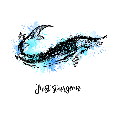 sturgeon: Hand drawn watercolor sturgeon. Retro sketches isolated. Vintage hypster collection. Doodle line graphic design. Black and white drawing fish sturgeon. Vector illustration.