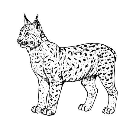 Hand drawn lynx. Vector illustration.