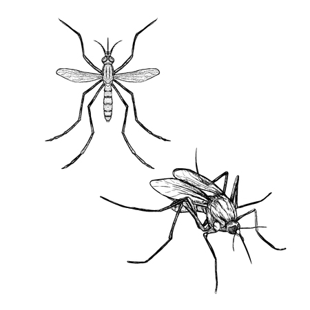detailed image: Hand drawn set of mosquito. Realistic isolated sketch of animal. Line graphic design. Black and white drawing insect. Vector illustration. Illustration
