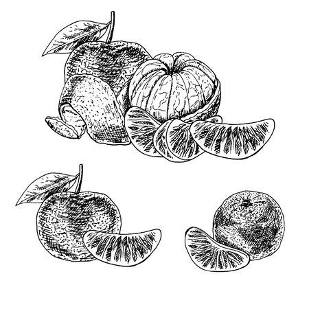 detailed image: Hand drawn set of mandarin. Retro isolated sketches. Vintage collection. Linear graphic design. Pieces of tangerine. Black and white image of fruit. Vector illustration. Illustration