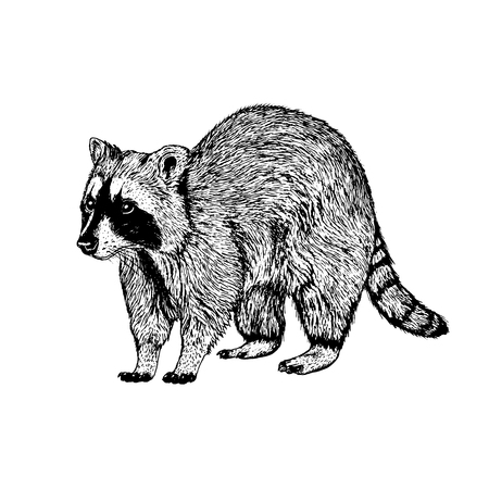 Hand drawn raccoon realistic vintage style.