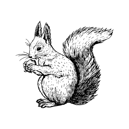 Hand drawn squirrel. Retro realistic animal isolated. Vintage style. Doodle line graphic design. Black and white drawing mammal. Vector sketch. Christmas animal.