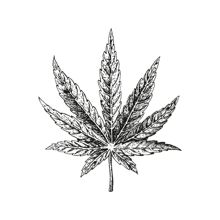Hand drawn hemp leaf. Cannabis plant. Isolated sketch of marijuana. Black and white graphic design. Vector illustration.