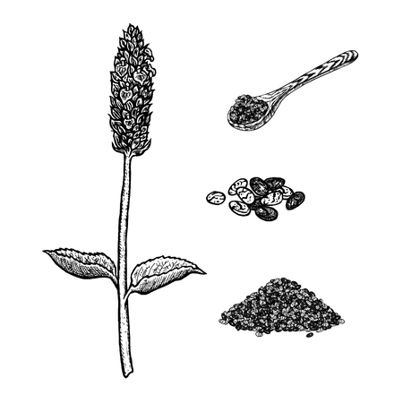 Hand drawn set of chia plant, spoon and seeds. Illustration