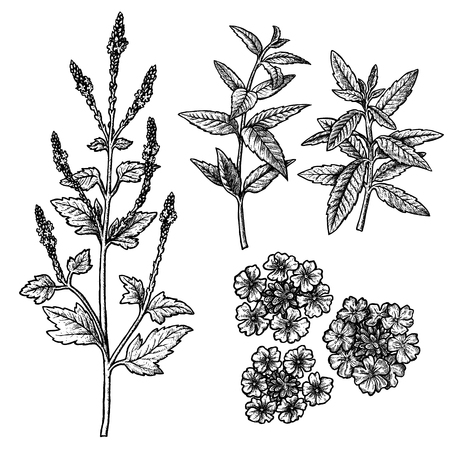 Hand drawn set of verbena plant, flowers, leaves and twigs. Retro isolated sketches. Vintage figure. Linear graphic design. Black and white image. Vector illustration.