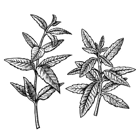 Hand drawn verbena, leaves and twigs.