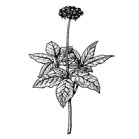 Hand drawn ginseng plant. Retro isolated sketches. Vintage figure. Linear graphic design. Black and white image. Vector illustration. Stockfoto - 125037352