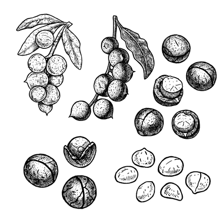 Hand drawn set of macadamia nuts with leaves. Retro isolated sketches. Vintage figure. Linear graphic design. Black and white image. Vector illustration. Vector Illustration
