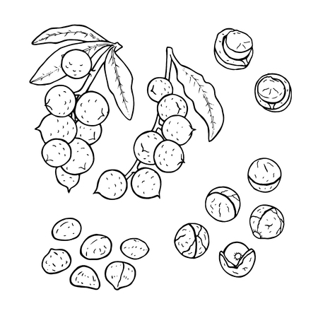 Linear set of macadamia nuts with leaves. Line drawing. Black and white image. Vector illustration.