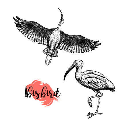Hand drawn ibis. Skethes of birds. Flying and standing ibises. Vintage set. Vector retro illustration. Stock Illustratie