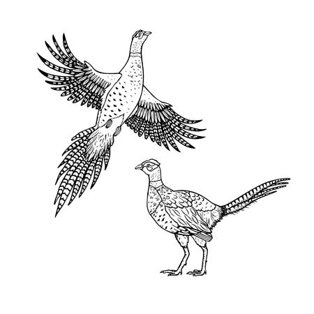 Hand drawn pheasant. Linear style. Illustration