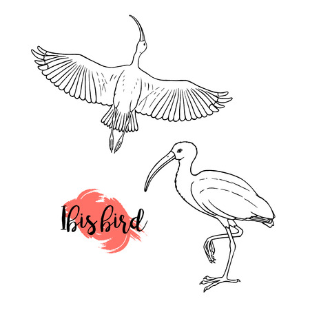 Hand drawn ibis. Linear style. Can be used as a coloring book. Vector illustration. Line drawing