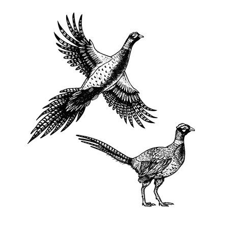 Hand drawn pheasant. Sketches of birds. Illustration
