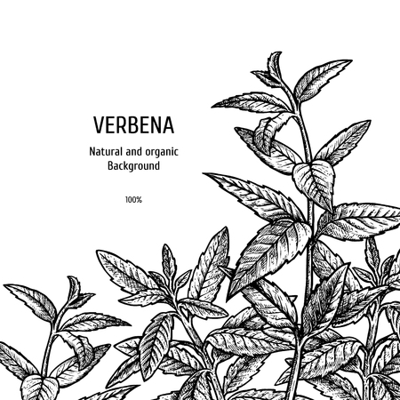 Hand drawn background with verbena. Sketch of plant. Herbal vintage figure. Linear graphic design. Black and white image. Vector layout design for packaging