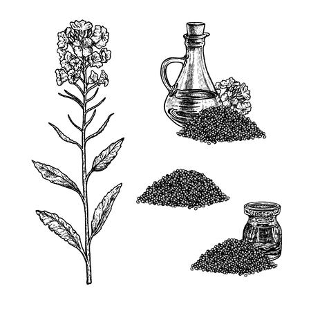 Hand drawn set of plant rape. Isolated sketches. Vintage design. Linear graphic figure. Black-white image of rape seeds. Vector illustration. Ilustração Vetorial