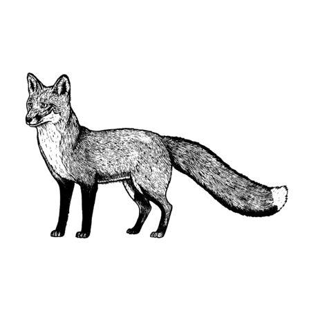 Zorro dibujado a mano. Animal realista retro aislado. Estilo vintage. Diseño gráfico de línea Doodle. Mamífero dibujo en blanco y negro. Bosquejo del vector. Animal del bosque. Ilustración de vector