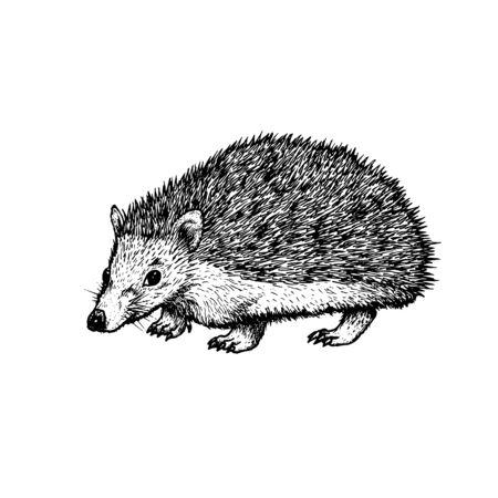 Erizo dibujado a mano. Animal realista retro aislado. Estilo vintage. Diseño gráfico de línea Doodle. Mamífero dibujo en blanco y negro. Bosquejo del vector. Animal del bosque.