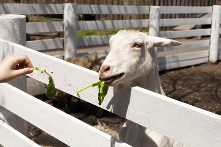 goat eating to grass photo
