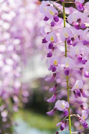 wisteria: Wisteria flowers