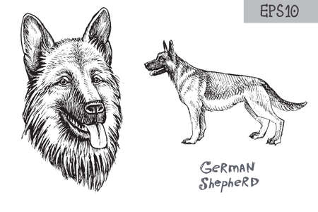 German shepherd breed illustration. Vector sketchy drawing of dog head and side view.