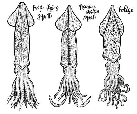 Squid vector hand drawn illustrations. Seafood drawings.