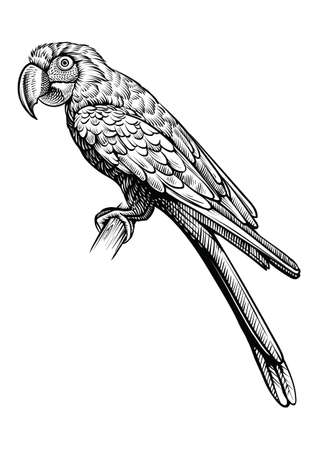 Parrot hand drawn vector illustration. Macaw bird sitting on the branch, line black and white sketch. Ilustracja