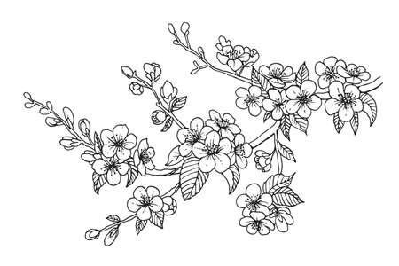 Blühender Kirschzweig, Vektorillustration. Sakura isolierte Linienskizze auf weißem Hintergrund.