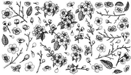 Blooming cherry vector, sketch elements. Sakura vintage flower blossom collection. Çizim