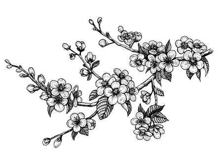 Blooming cherry branch, vector illustration. Sakura spring flowers, isolated hand drawn sketch on white background. Çizim