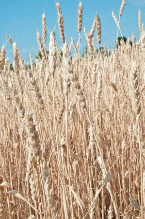 小麦青空に対してフィールドで栽培 写真素材