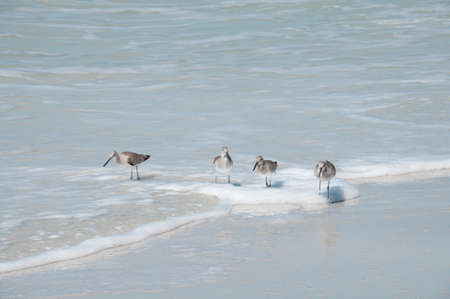 four sandpipers paddling in the sea - space for text