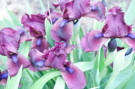 咲いている紫色のアイリス
