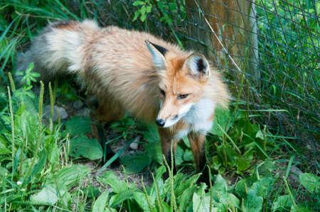 Baackground でフェンスの線と赤狐