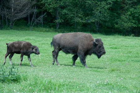 母と赤ちゃんバッファロー、両方口に草があります。 写真素材