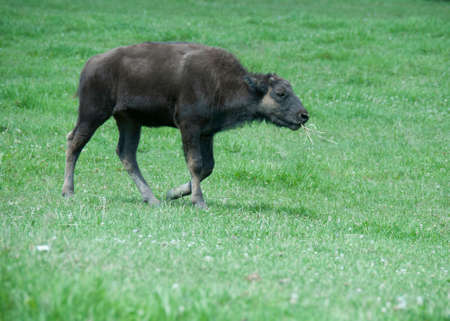Young buffalo in a field with grass in its mouth