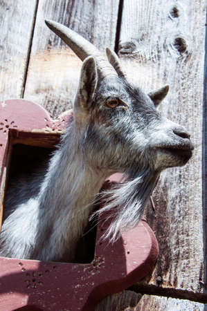 Goat looking through opening in the barn