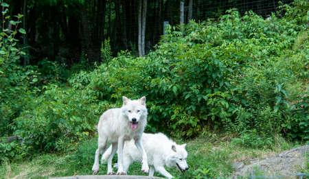 緑に対して北極オオカミ 写真素材