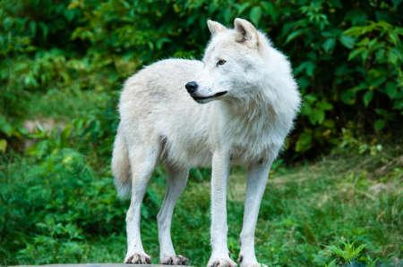 緑の自然に対して北極の白狼